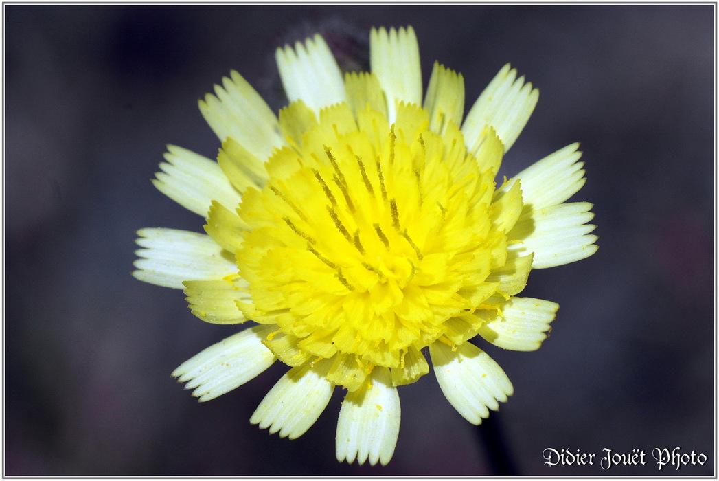 Epervière Piloselle / Hieracium pilosella