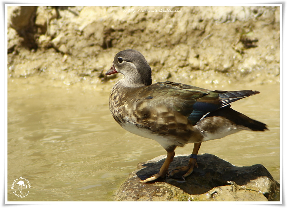 Canard carolin ♀ - Aix sponsa - Wood Duck