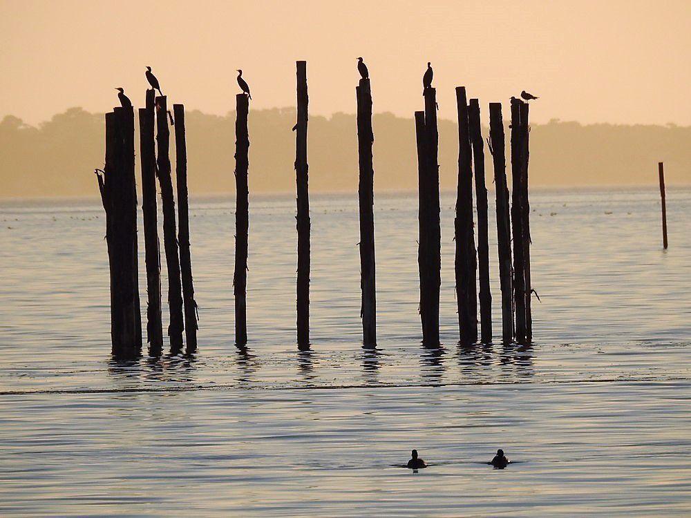 La nasse et les cormorans...