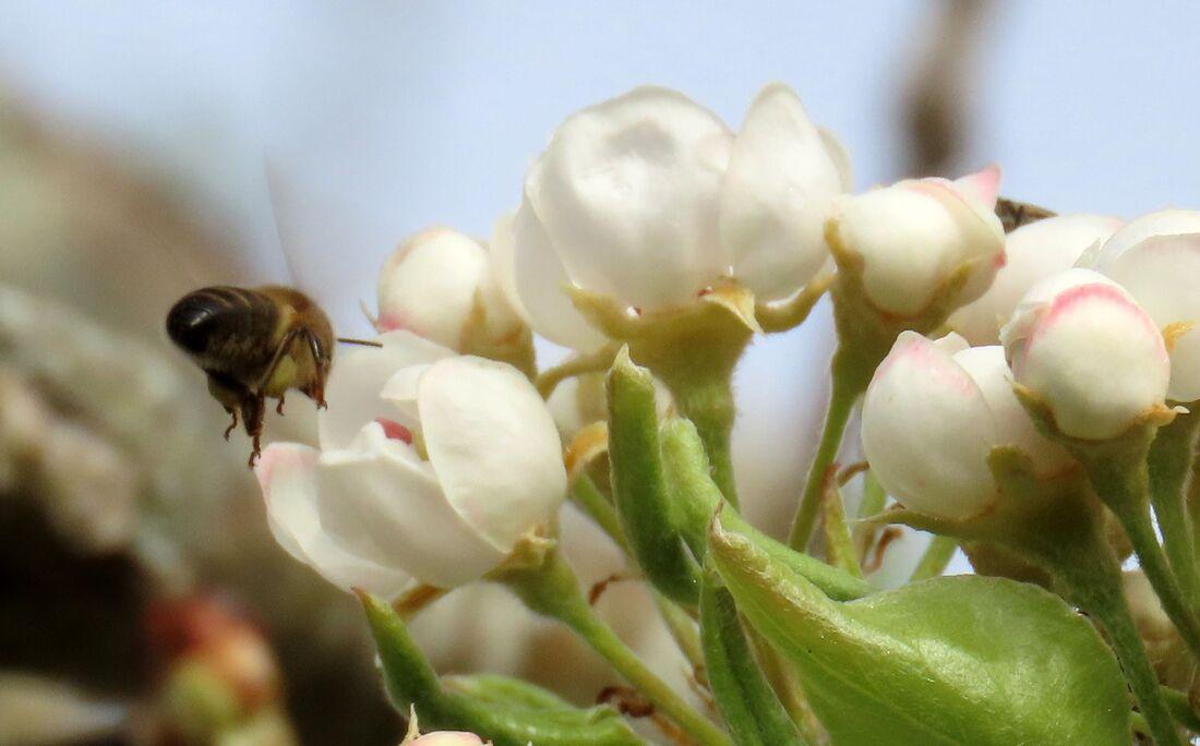 une abeille sur mes fleurs    Bébert33