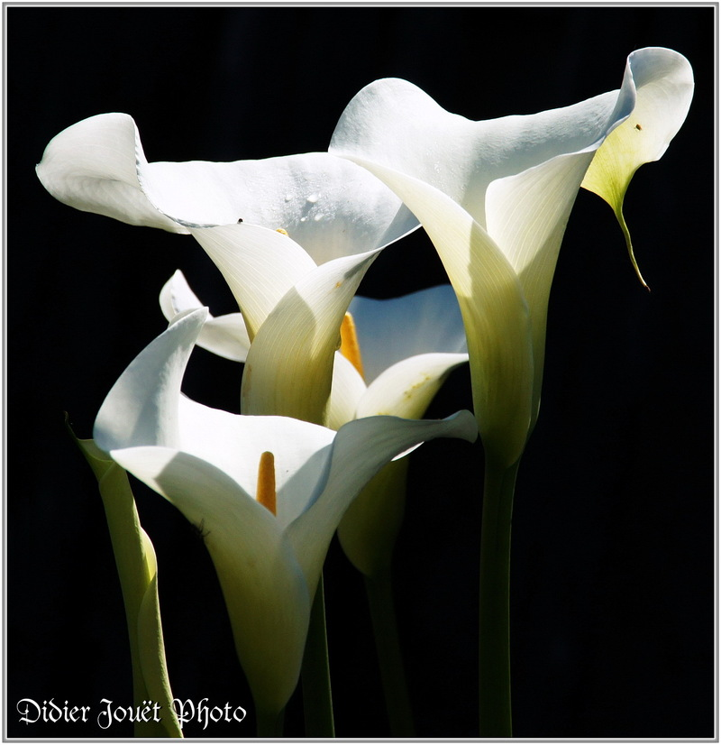 Calla / Zantedeschia aethiopica