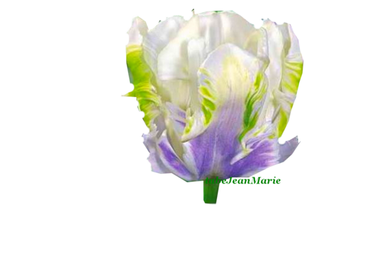 tube tulipe pour vos créations