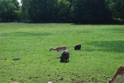 Daims et cochons noirs à Sainte-Sabine