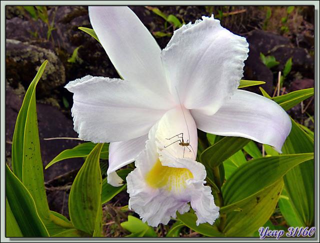 Blog de images-du-pays-des-ours : Images du Pays des Ours (et d'ailleurs ...), Petite Sauterelle sur grande Orchidée du genre Sobralia (One-day Orchid) - Arenal - Costa Rica