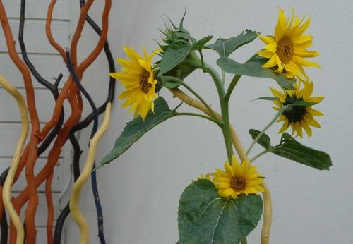 Helianthus, tournesol