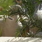 Tourterelles affamées en Provence(3) - Photo : Mistouflette