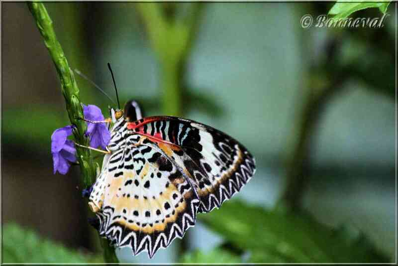 Papillons tropicaux Cethosia cyane