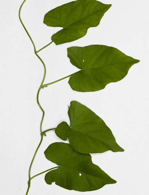 Vertus médicinales des plantes sauvages : Liseron des haies