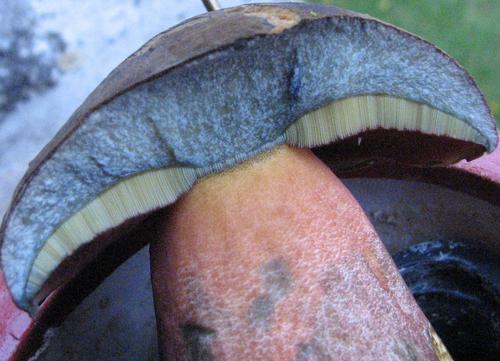 mycologie/Bolet à pied rouge/Boletus erythopus ou luridiformis