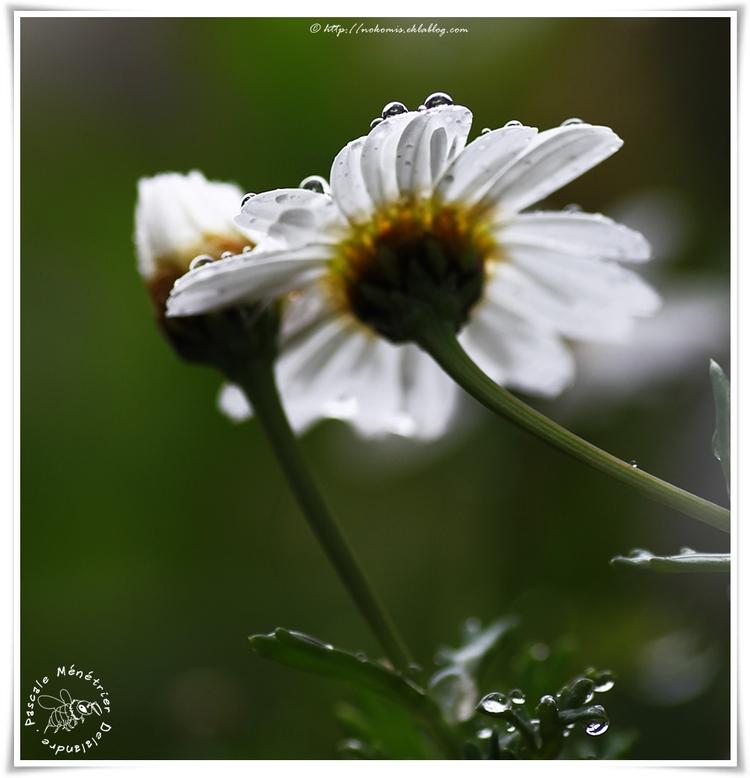Anthémis sous la pluie