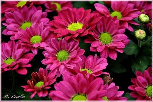 Magnifiques chrysanthèmes