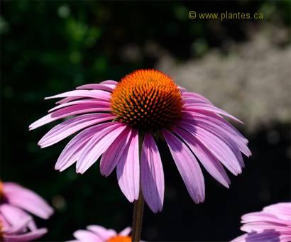 Photo d'échinacée pourpre - Echinacea purpurea