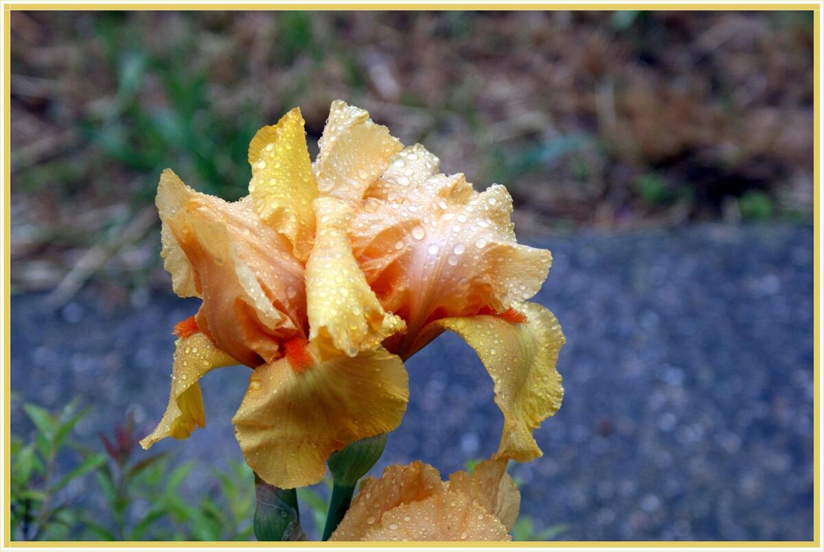 Défi entre nous : l'iris jaune