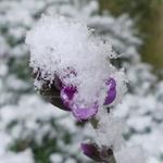 La photo du moment...fleur d'erysimum bowles mauve sous la neige