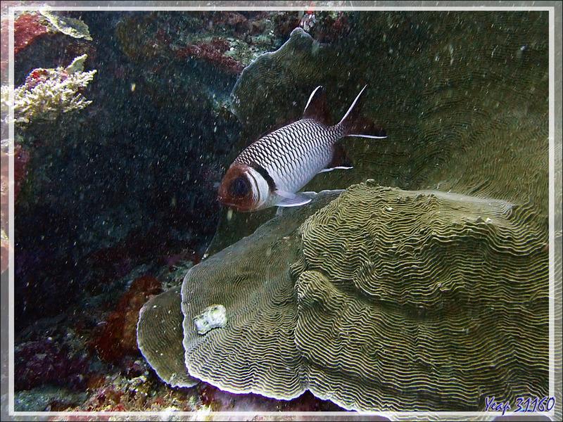 Poisson-soldat ou Marignan poklé, Blacktip soldierfish, Splendid squirrelfish (Myripristis botche), Mérou camouflage ? (Epinephelus polyphekadion) - Petit Castor - Tsarabanjina - Mitsio - Madagascar