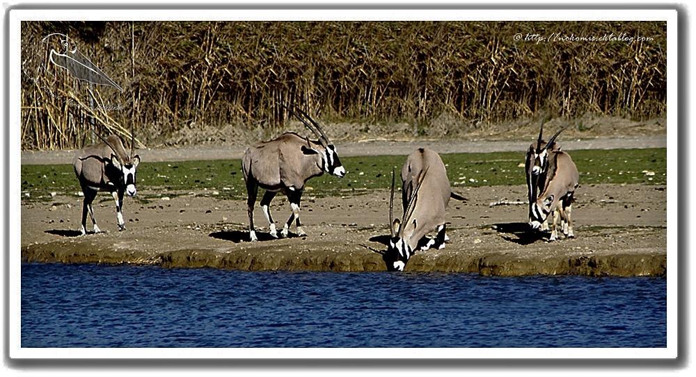 Oryxs