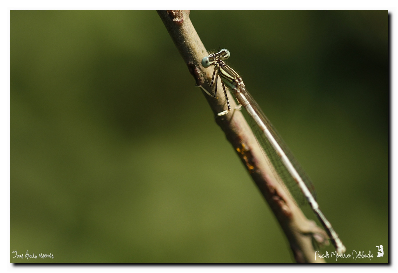 Platycnemis latipes, le Pennipatte blanchâtre ou l'Agrion blanchâtre