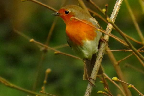 Les oiseaux ont été peu nombreux cet hiver dans mon jardin...  mais le rouge-gorge a été un des plus fidèles