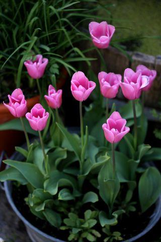 Tulipes 2020 : Mistress