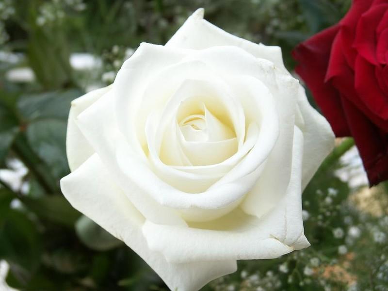 Langage Des Fleurs Roses Blanches