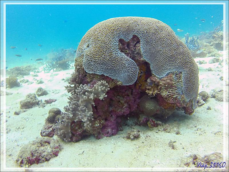Beau casque de corail - Spot Les 2 Sœurs - Tsarabanjina - Archipel Mitsio - Madagascar