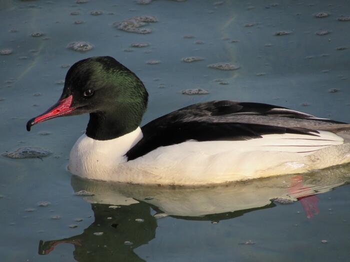 Les oiseaux du lac d'Annecy