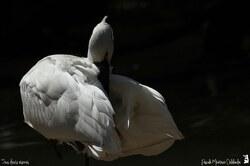 Spatule blanche