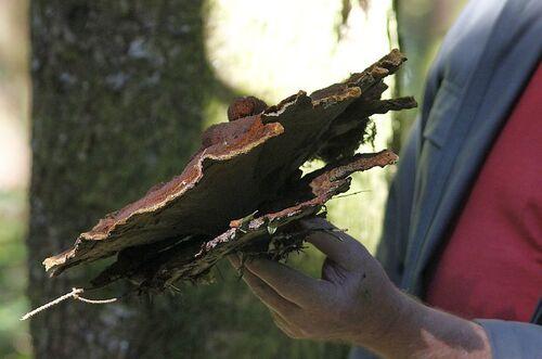Phaeolus schweinitzii - Polypore des teinturiers - pheole de schweinitz (non comestible)