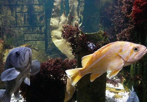 Vermillon Rockfish