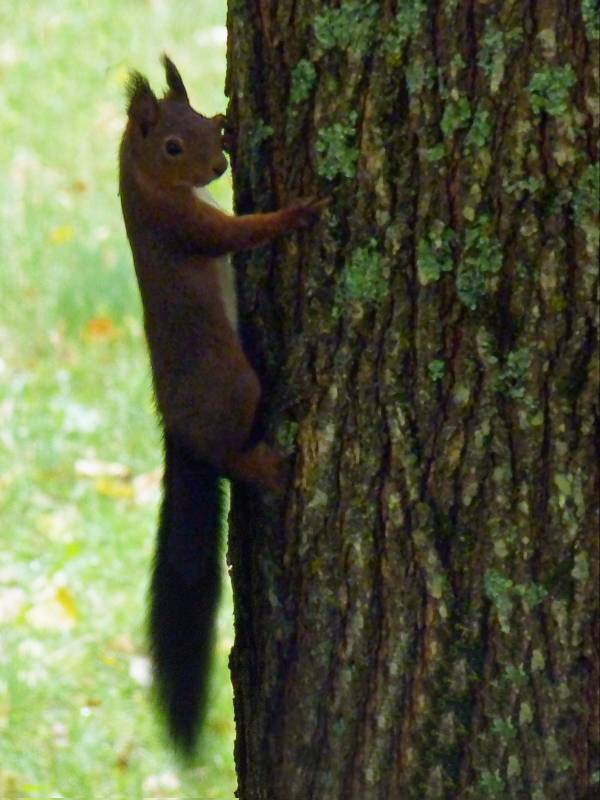 Ecureuil-arbre