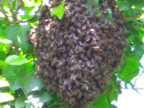 essaim d'abeilles de son arrivée a la capture