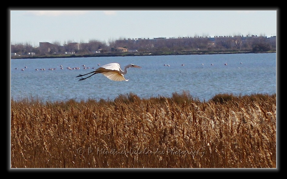 Aigrette garzette sur fond de Flamants rose...