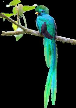 oiseaux quetzal