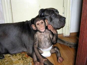 chimpanzé chienne