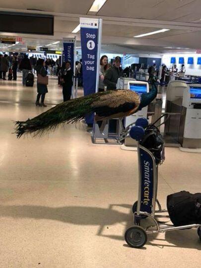 Une dame a tenté de monter dans la cabine d'un avion avec un très gros paon, sans succès