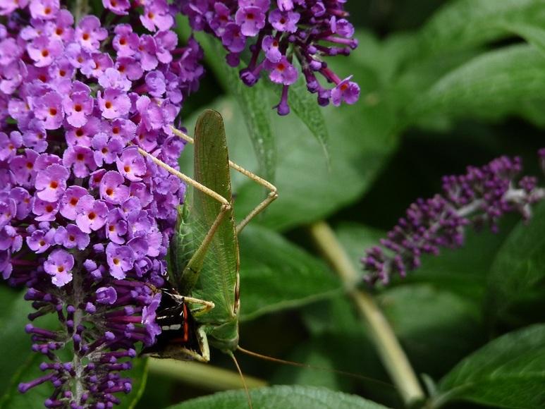 Une sauterelle qui mange un papillon