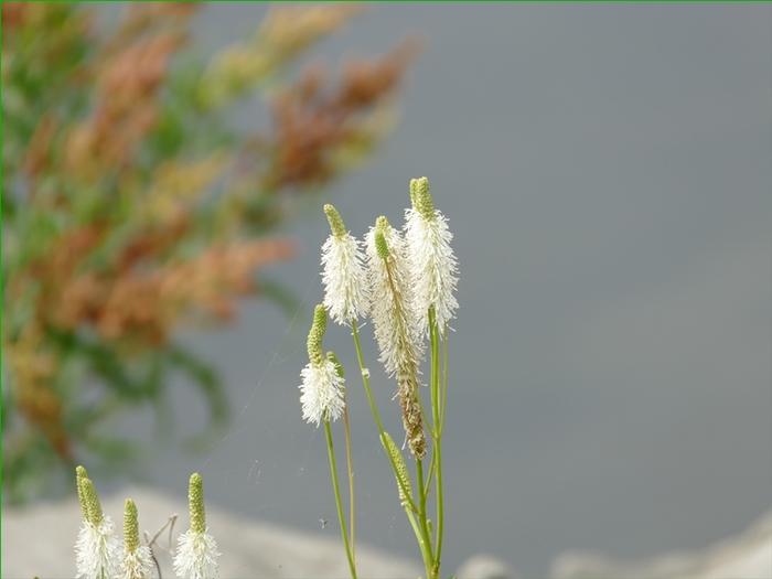 Fleurs sauvages, photos prises le 8 août.(no 2)