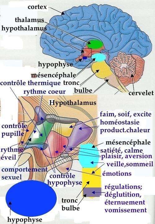 Ce qui, dans le cerveau, nous maintient en vie : le cerveau central, dont l'hypothalamus