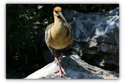Ibis a face noire - Parc aux oiseaux