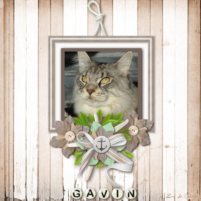 scrap chat maine coon gavin