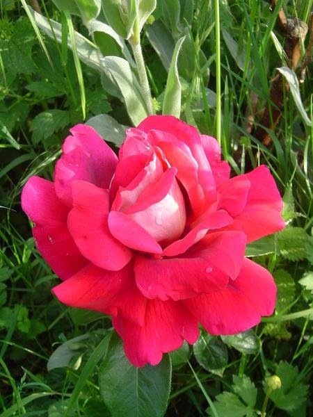 rose-kronenbourg.JPG