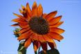 Fleurs à dominante orangée