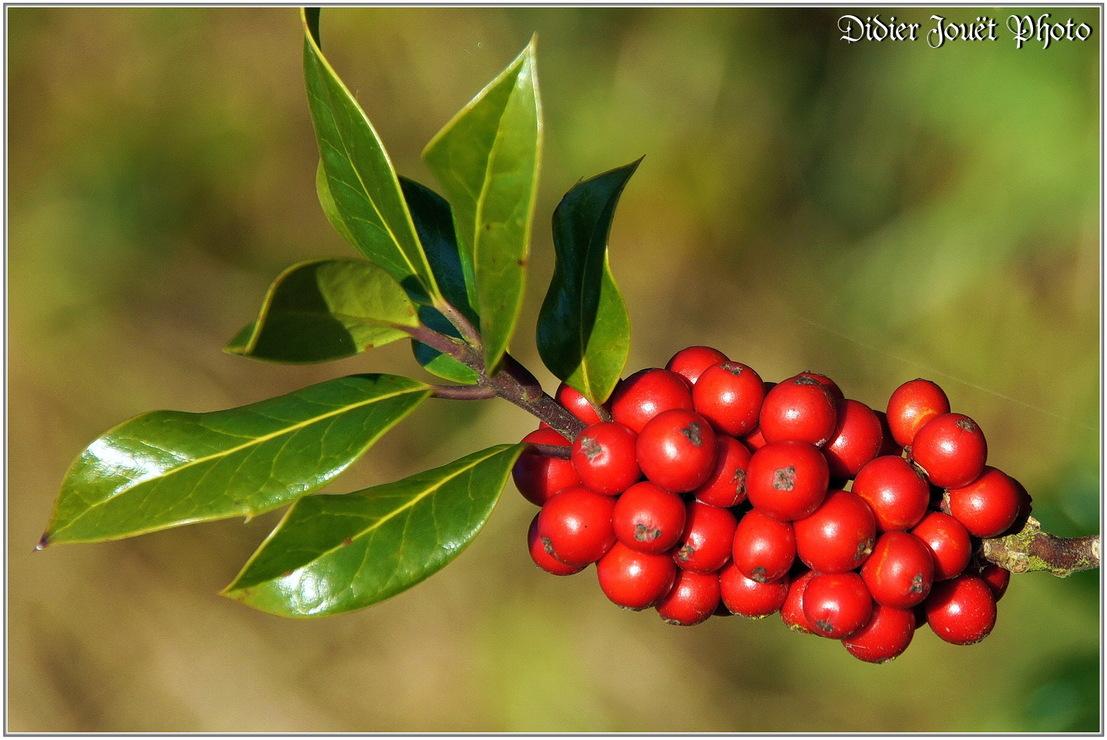 Houx / Ilex aquifolium