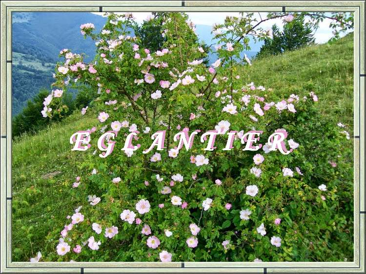 Vertus médicinales des plantes sauvages : Eglantier