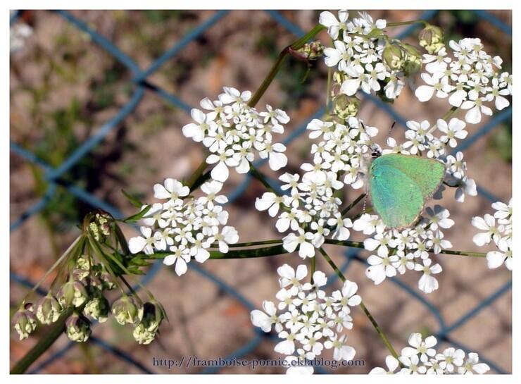 Le thècle de la ronce ou Argus vert