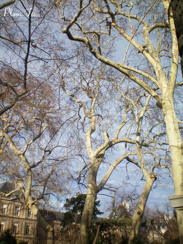 Arbres remarquables les grands platanes du jardin du for Arbres jardin du luxembourg