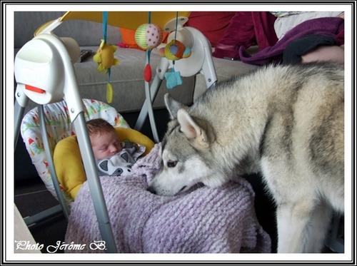 Le Husky est-il adapté aux enfants ?