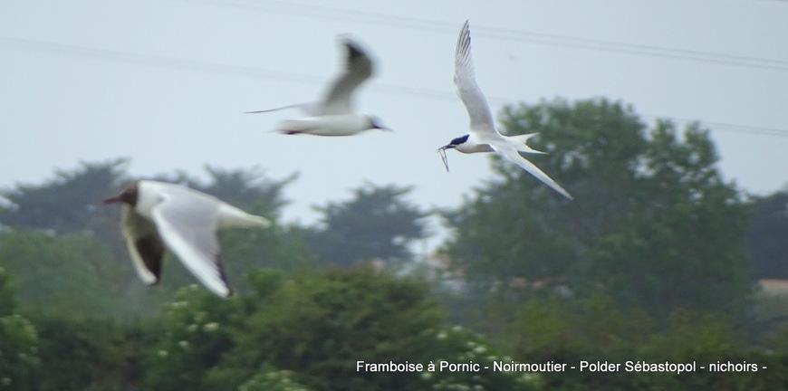 Noirmoutier Les oiseaux du polder Sébastopol Mai 2019