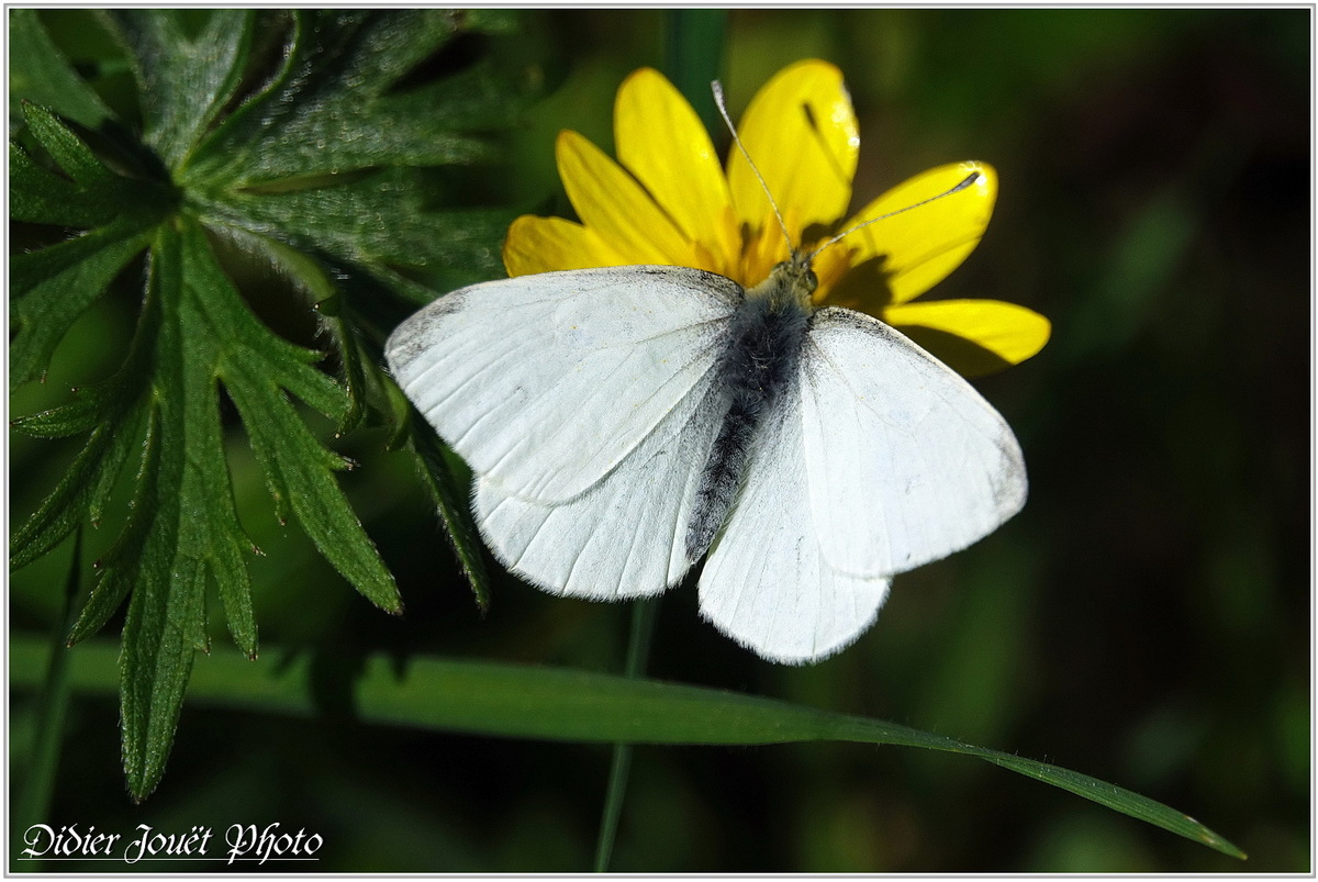 Aurore (2) - Anthocharis cardamines