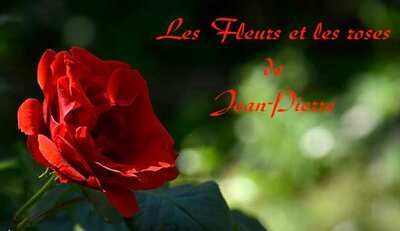 Roses et fleurs du samedi